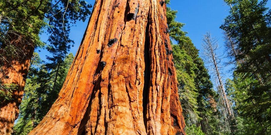 Corteza del árbol de la madera corazón púrpura.