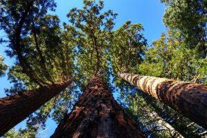 Madera Sequoia es la mas cara del mundo